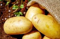 Посадка раннего картофеля: как подготовить клубни?