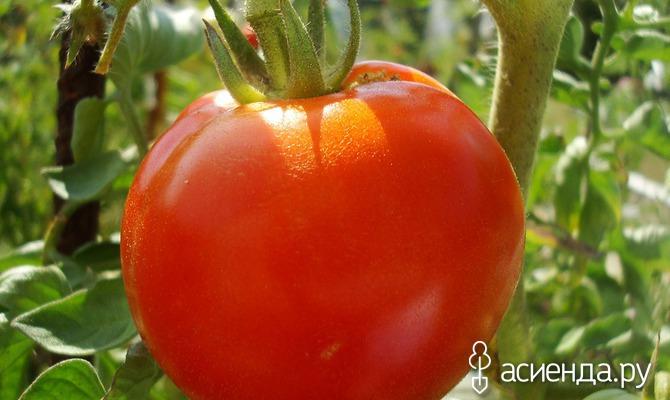 Открытая грядка и самые лучшие помидоры