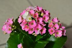 Каланхоэ: размножение и уход за цветком