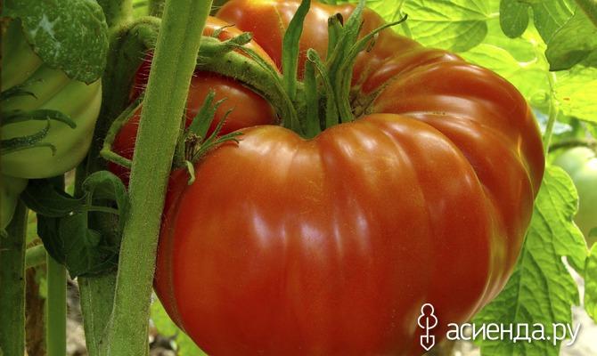 Обзор лучших томатов-новинок в 2016