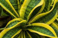 Сансевиерия: чтобы листья оставались пестрыми и упругими