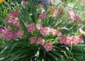Лилейник Романтик Роуз, цветет очень обильно и продолжительно