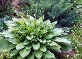 Зеленая хоста