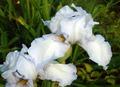 Повторно цветущий ирис Имморталити