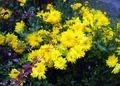 Хризантема, зимует без укрытия
