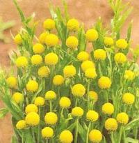 Цефалофора, она же земляничная трава
