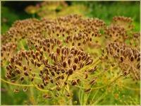 Семена укропа для красоты и молодости