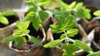 Что нужно знать о пикировке рассады томата
