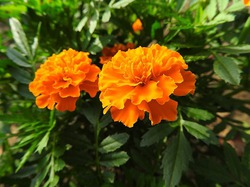 Бархатцы – наши миловидные помощники в саду и огороде
