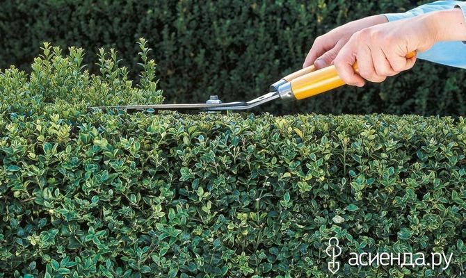 Как подстричь живую изгородь