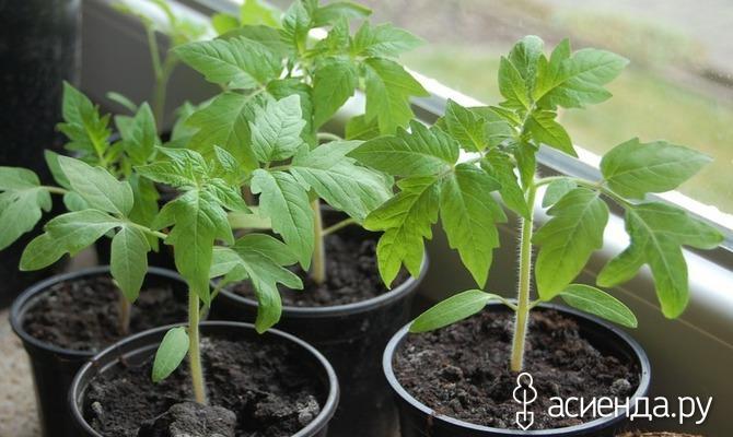Черенкование рассады помидор или китайский способ