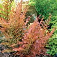 Папоротниковый сад: щитовник красносорусовый