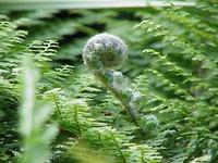 Папоротниковый сад: многорядник щетинконосный