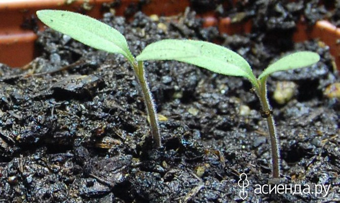Зимний посев томатов на рассаду