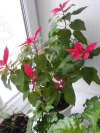 Пуансетия. Рожденственская роза.