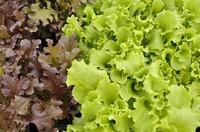 Выращивание салата в комнатных условиях