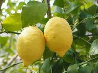 Как превратить лимон в плодоносящее растение?