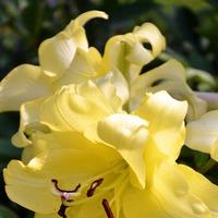 Лилии бывают разные; белые, желтые, красные... (продолжение 2)