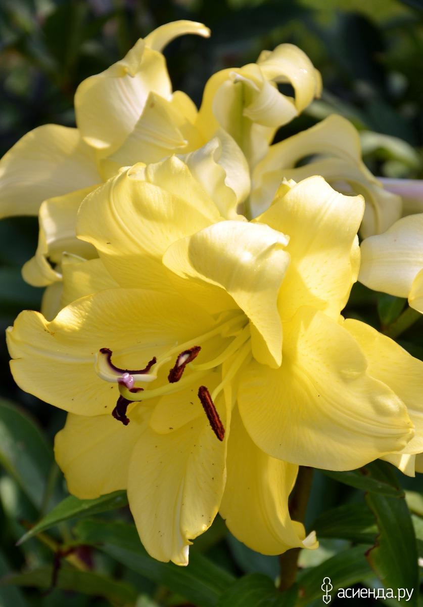 Фото и название цветков лилий