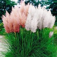 Пампасная трава – украшение для любого участка
