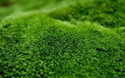 Как убрать мох с клумбы или газона?