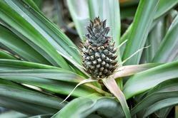 Плантация ананасов – это реально