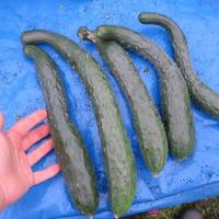 В МЕШКАХ: Огурец Китайский фермерский мой опыт выращивания в ОГ