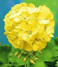 О желтых гераниях замолвите слово