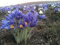Цветы Хакасии...