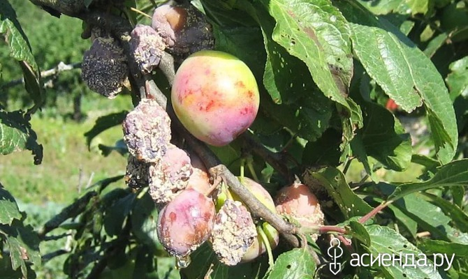 Распространенные заболевания овощных и плодово-ягодных культур