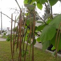 Катальпа из семян