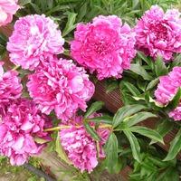 Цветение пионов - праздник лета