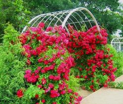 7 идей для плетистых роз