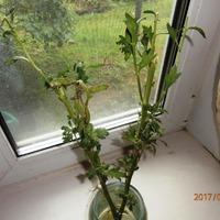 Укоренение хризантемы нужен совет.