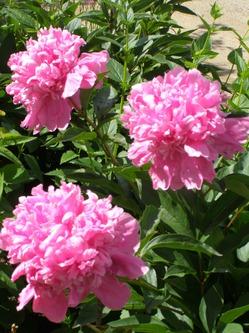 Конец июня в моих цветниках.