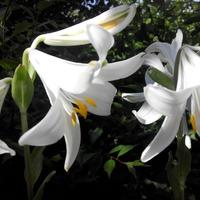Лилии в этом году. Начало цветения.