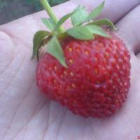 Мой небольшой опыт выращивания клубники.