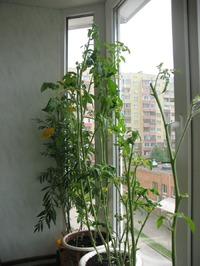 А помидоры то балконные..
