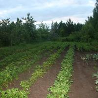 Опыт по выращиванию картошки из черенков провален и общие рассуждения о картофеле этого года.