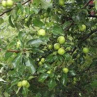 В этом году без яблок не останемся!