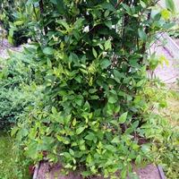 Вьющиеся растения на нашем участке и их сочетания на одной опоре.