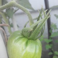 Синьоры-помидоры 2017. Июль.