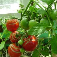 УРА, начали спеть помидоры!