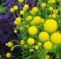 Цефалофора – земляничная трава с чудесным запахом
