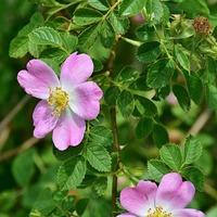 Шиповник или целебная дикая роза