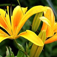 Утонченная лилия: выращивание и размножение