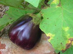 Листья перцев и баклажанов в пятнах: как исправить ситуацию?