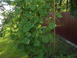 А виноград то все же будет!