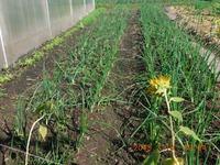 Как вырастить лук из семян (личный опыт)