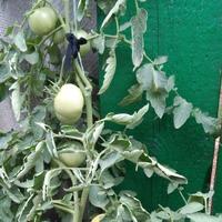 Мои помидорчики - томатики, первый урожай